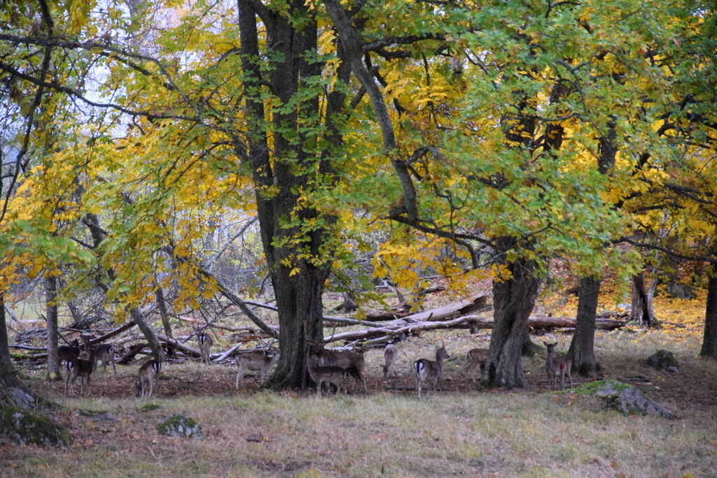 Hjortar som tittar nyfiket innan de flyr iväg.