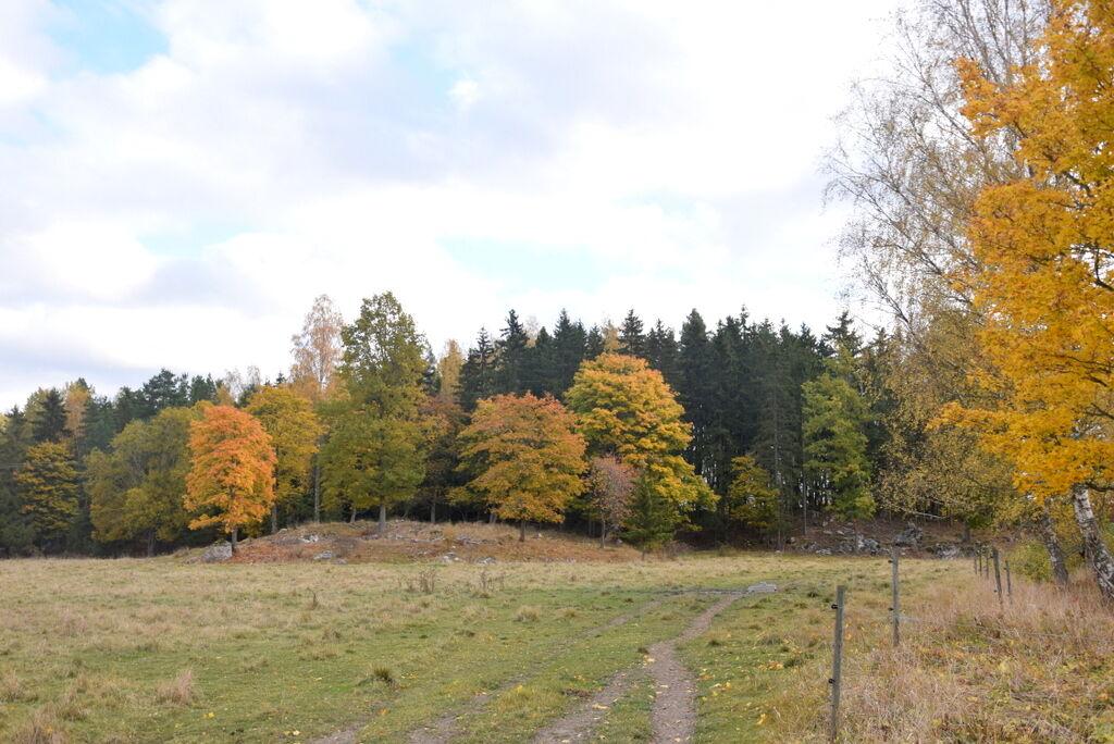 Angus-kossorna har åkt hem till Knutsta gård och jag kan (vågar) återigen promenera runt min egen skog.
