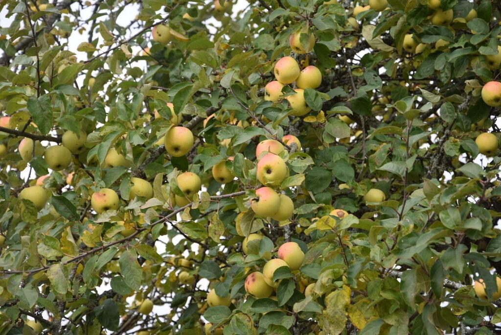 Och plocka in äpplena från favoritträdet.