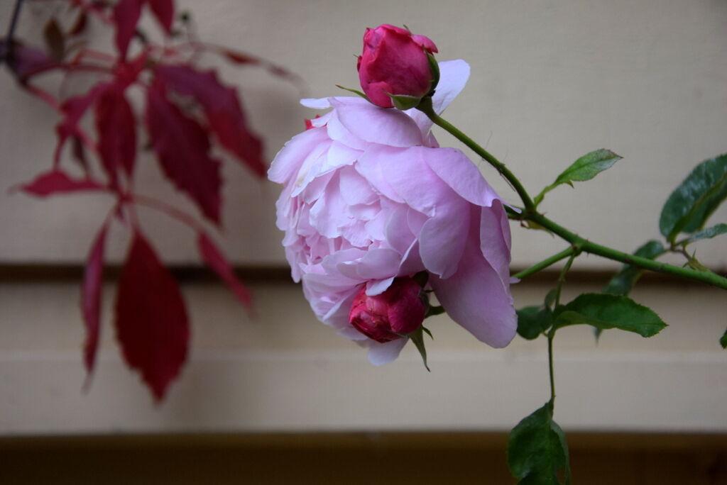 Rosorna trivs i hösten