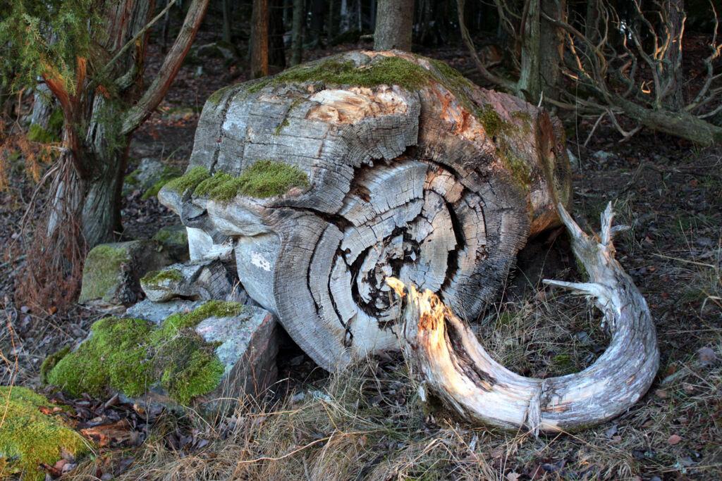 Min lilla skog rymmer en hel hoper med bronsåldersgravar, flertal antika sophögar ochandra spår av mänsklig framfart, som den här vackra stocken.