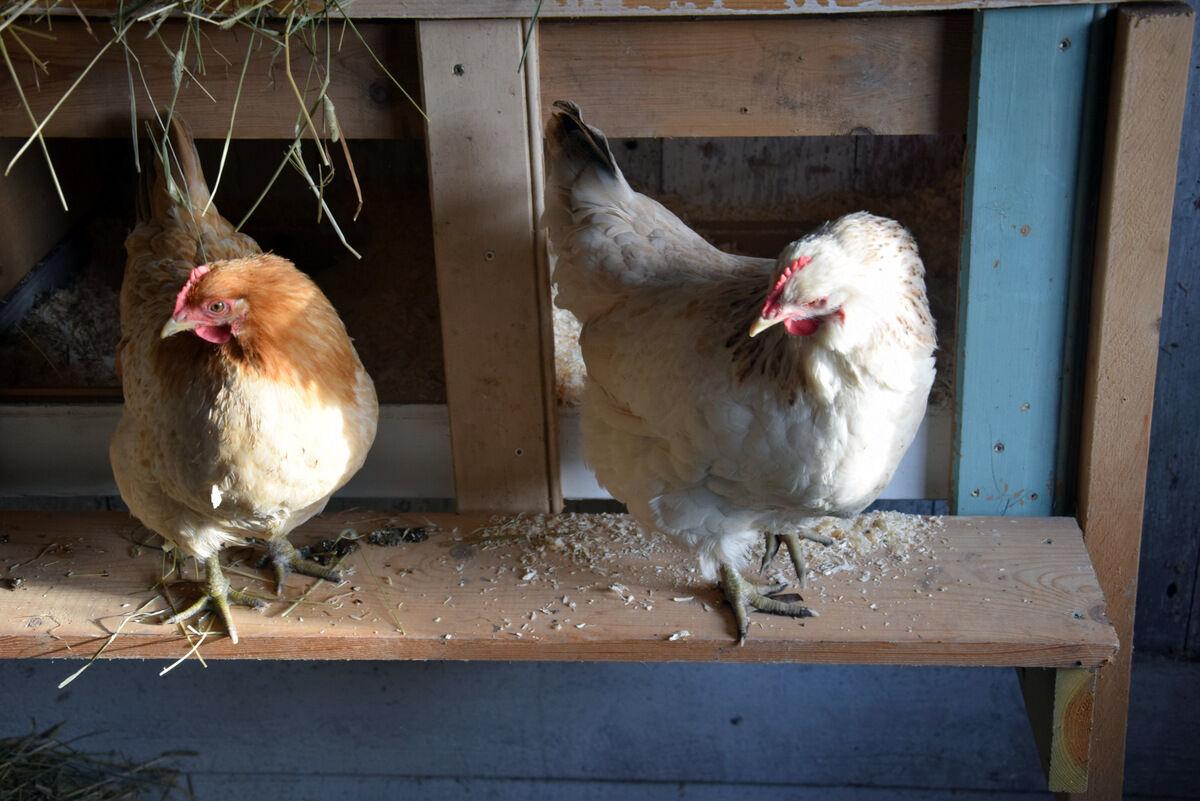 De två äldre hönorna, Solfrid och Agda, la till min förvåning varsitt ägg samma dag.