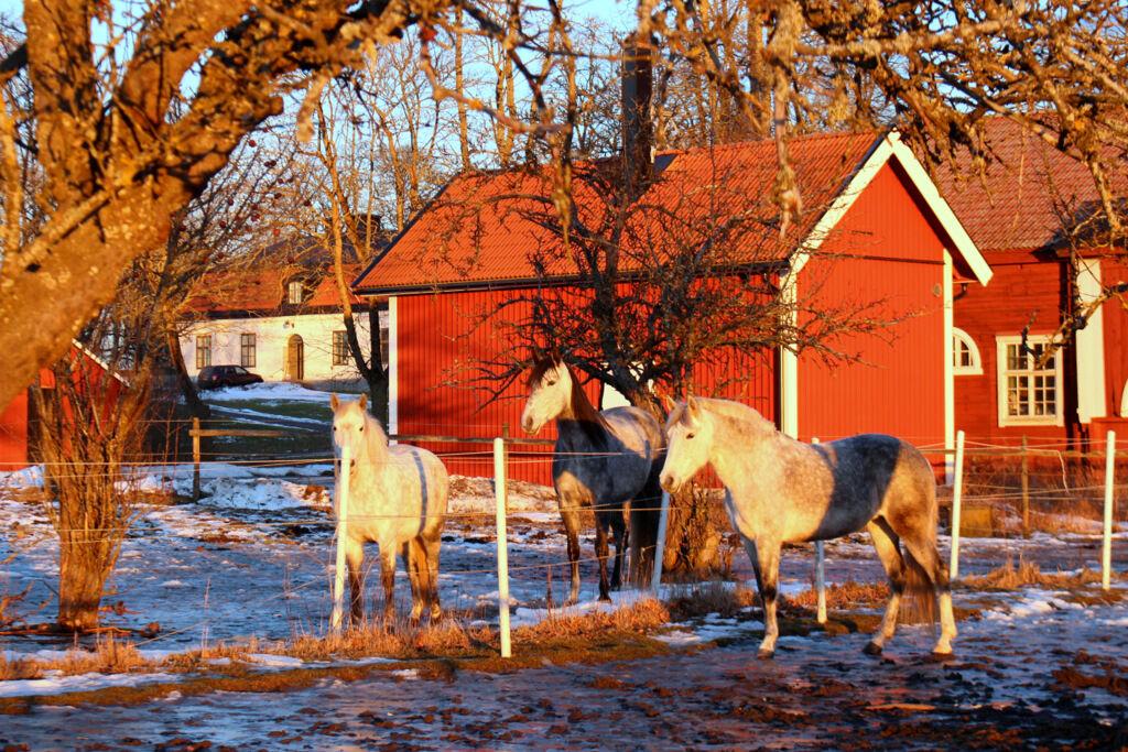 Ljuset färgar till och med spanska hästarna gula, vilket ser lite overkligt ut på bild.