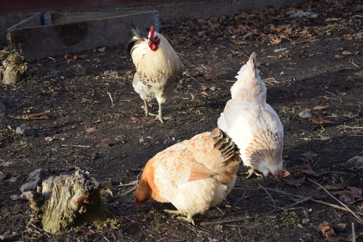 I sommar hoppas jag kunna ha dem lösa i trädgården.