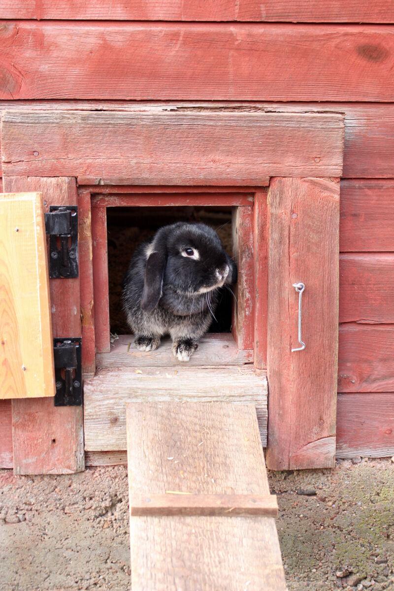 Efter att julen dansat ut har det stuntals varit vår i luften. Kaninerna har glatt skuttat omkring, ensamma, i den rymliga hönsgården. Men nu ska det bli ändring på det. Idag ska vi äntligen hämta hem höns!