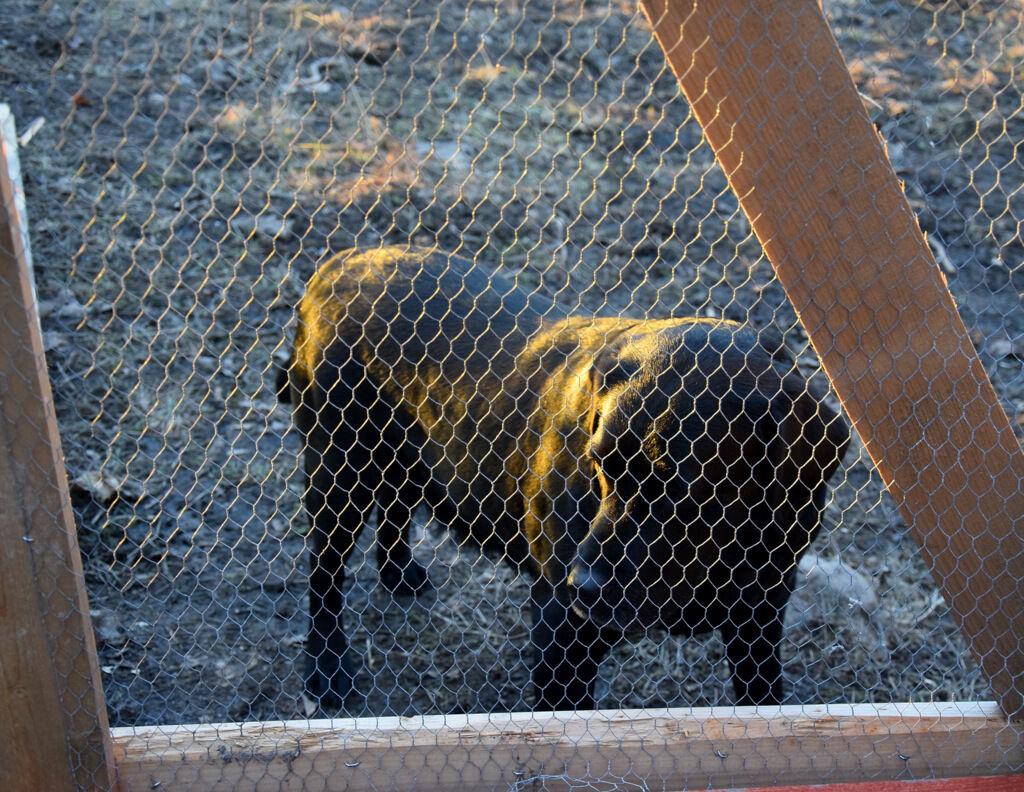 Tosie tycker också det är roligt och skulle gärna följa med in i hönsgården.