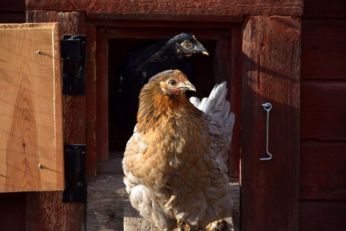 Unghönorna Christina och Elsa har börjayt värpa. Små gulliga och prickiga ägg.