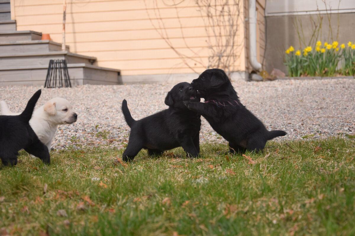 Svårt att se skillnad på tre av de svarta tikarna, men Lovisa har hittat en favorit som fått en garntråd runt halsen.