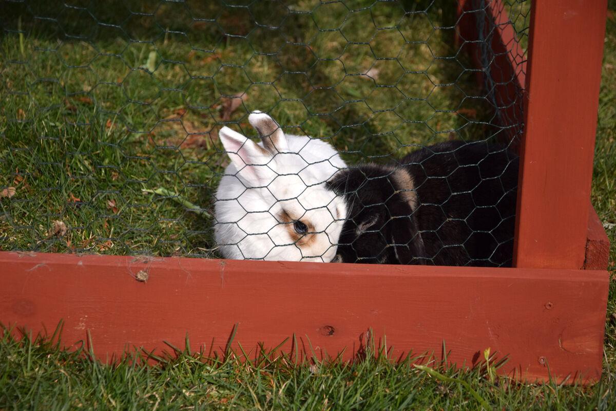 Kaninerna fick lämna hönsen och hönsgården och flytta in i sin bur, vilket de inte verkade speciellt glada över. sura