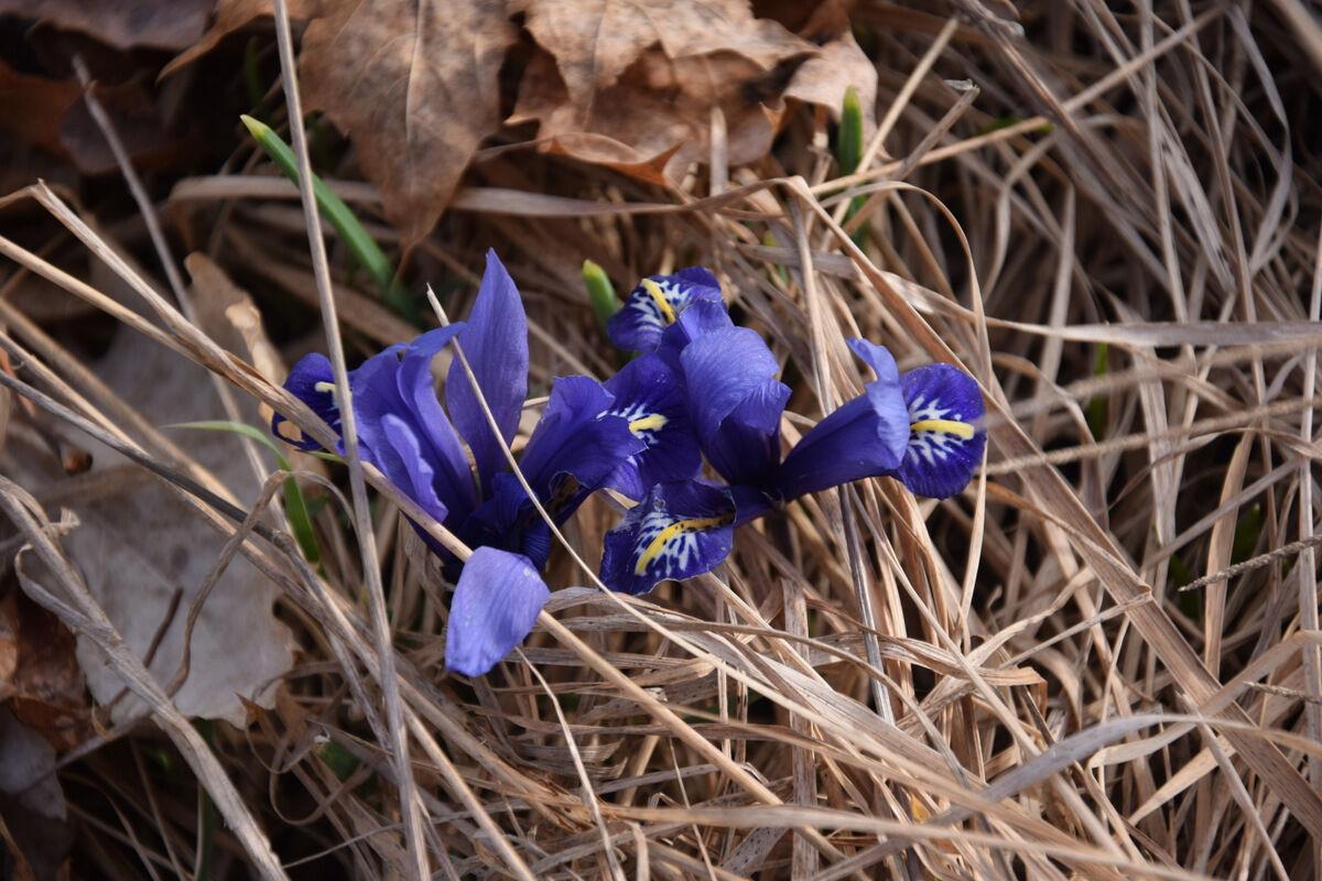 Blommande irisar. Så skönt med vår.
