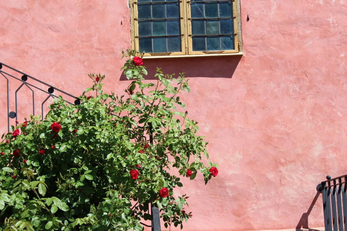Rosorna blommade.