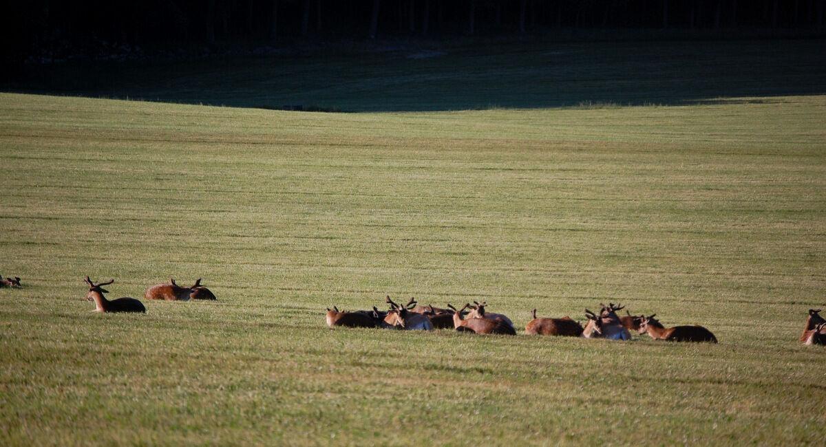 På Grensholm finns kanske Sveriges finaste fria hjortbestånd. På vägen hem låg några av dem nöjt och gassade i kvällssolen.