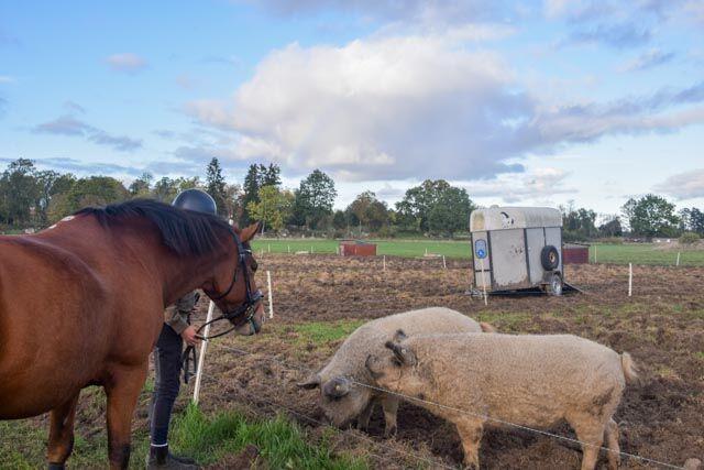 Vi brukar passa på att rida förbi grisarna som tillhör Farcon och Närsjö gård.