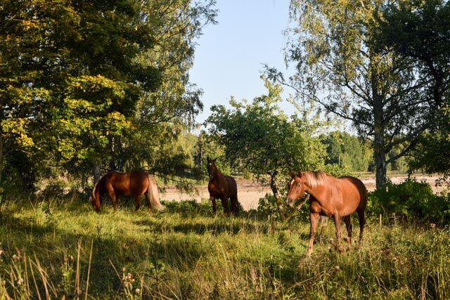 För ett par veckor sedan fick vi äntligen hästar till prästgården.