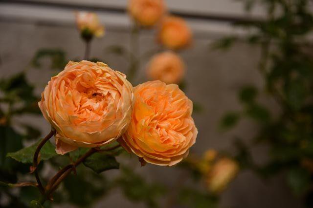 Det har varit en konstig sommar vad gäller trädgården och mycket blommning kom av sig på grund av en köldknäpp i våras. men rosorna har klarat sig fint.