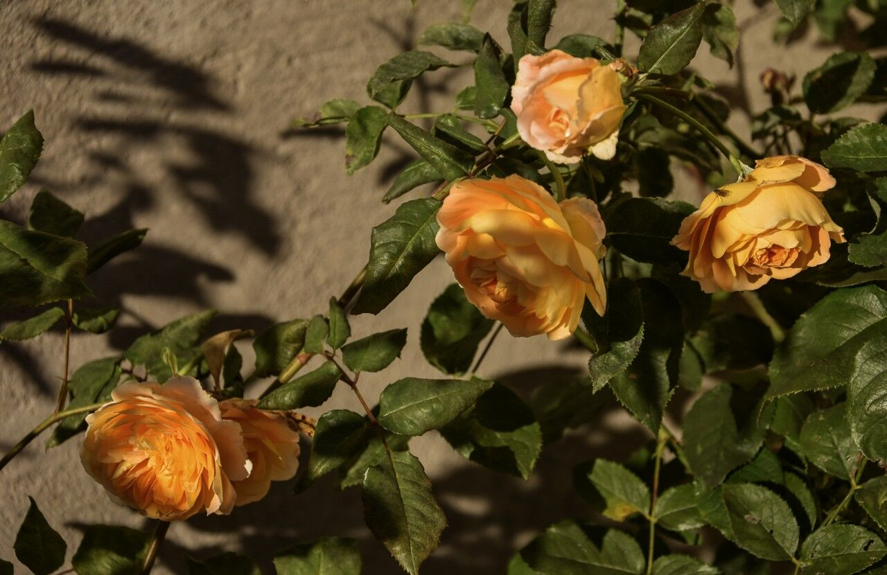 Mina rosor gillar också höst.