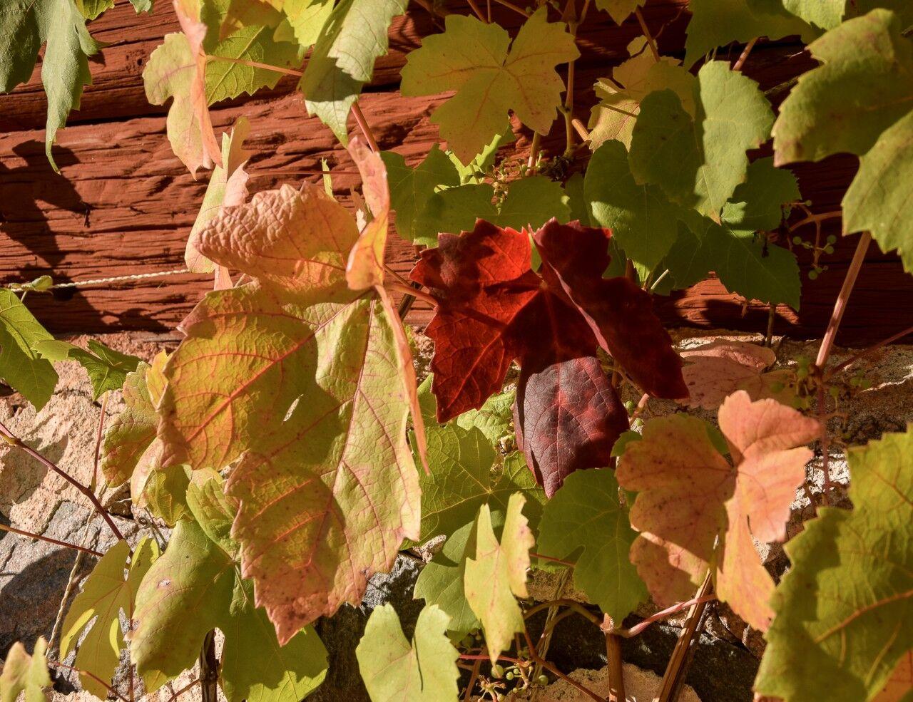 Snart har vinrankorna tappat sina vackra löv. Druvorna åt småfåglarna upp i år.