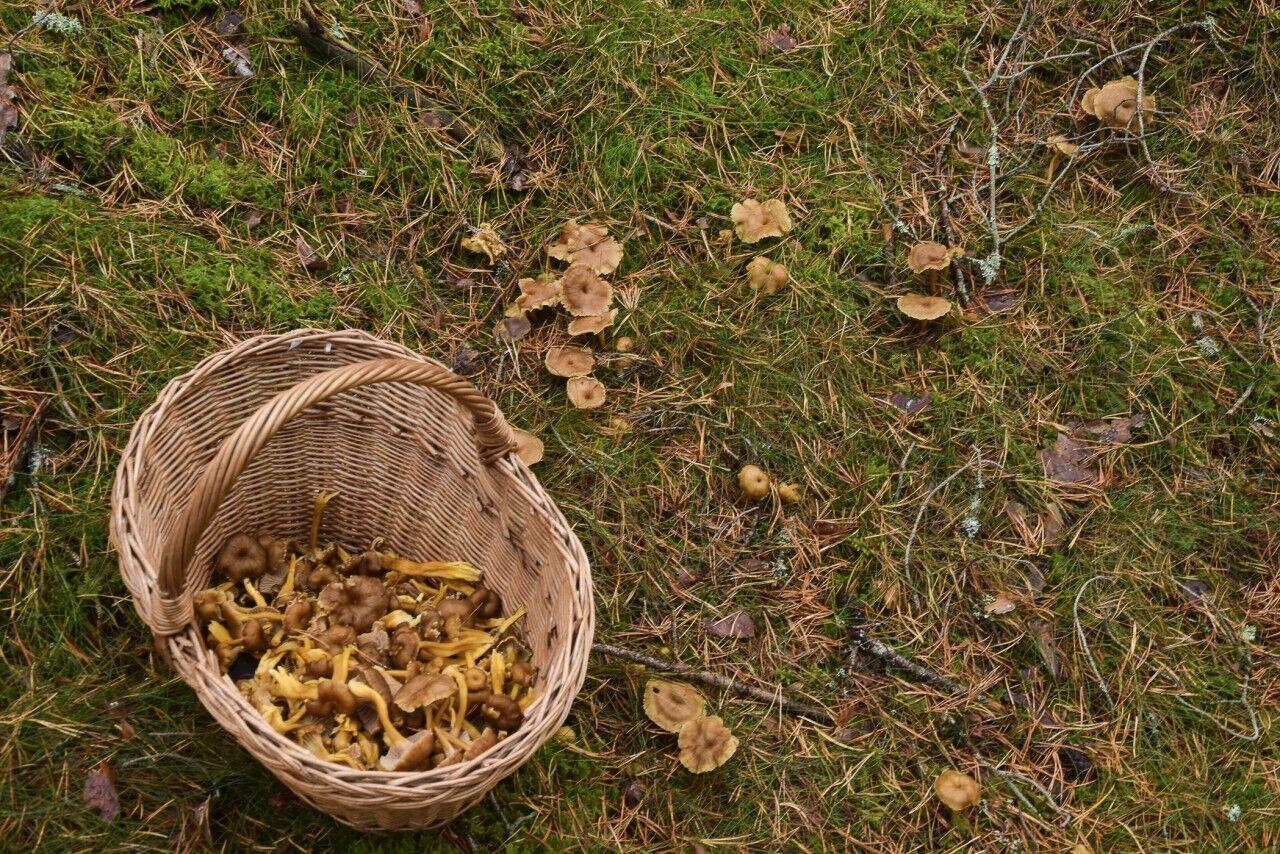 I år har varit ett riktigt bra svampår och jag har ett fint lager med Karljohan i frysen och en hel del trattkantareller på tork.