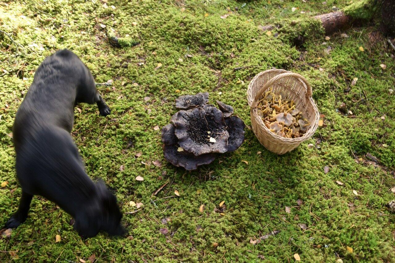 Även konstiga svampar har trivts med den här hösten och en del har varit ovanligt stora.