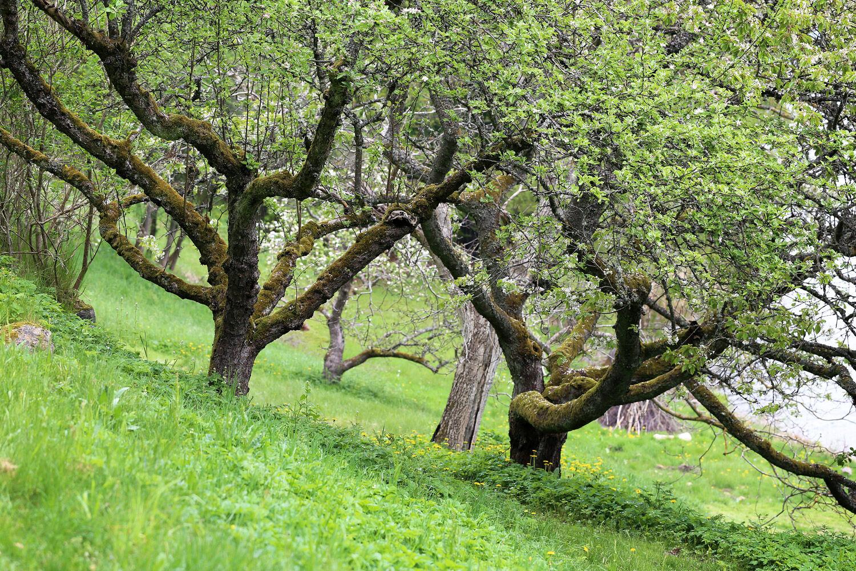 Äppelträd - Ta till vara