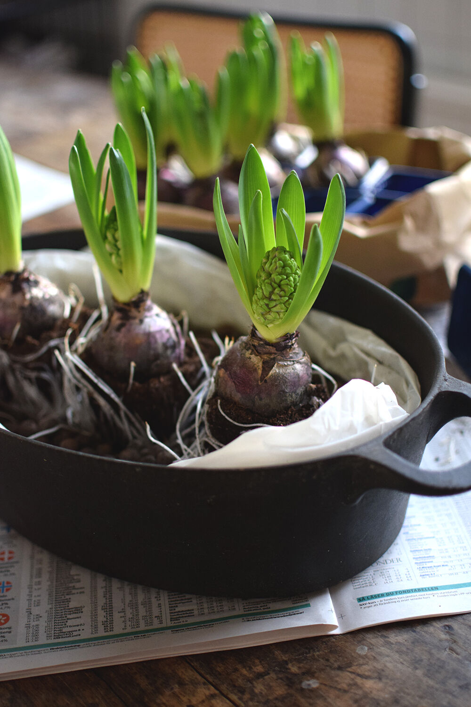 plantagen_hyacint_helenalyth_02