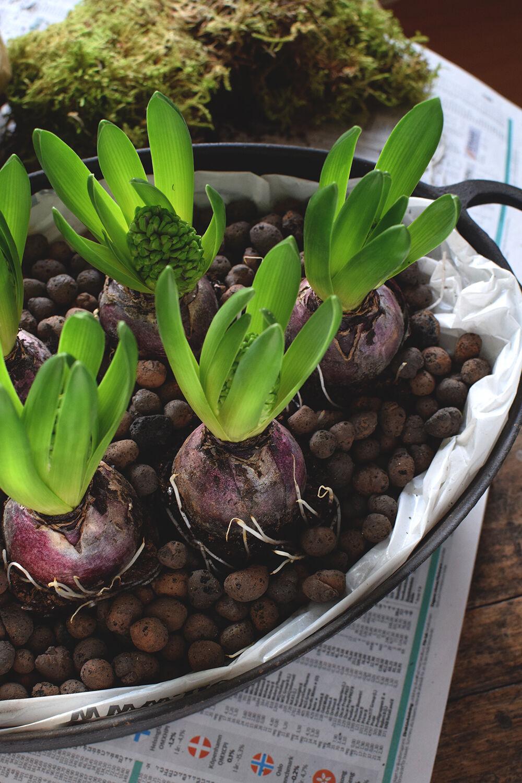 plantagen_hyacint_helenalyth_03