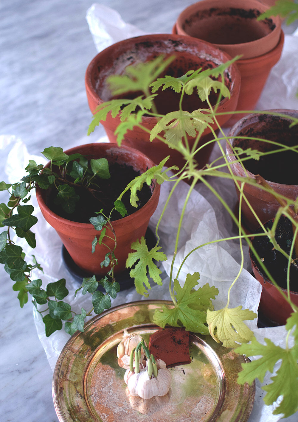plantera_om_sticklingar