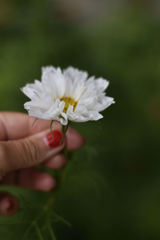 DSC_1349 rosenskära