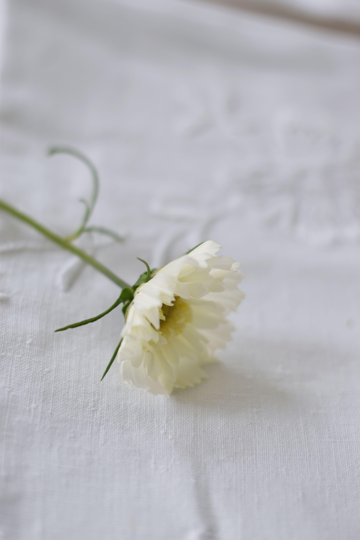 DSC_1381 rosenskära