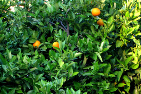 Apelsinträd på Mallorca