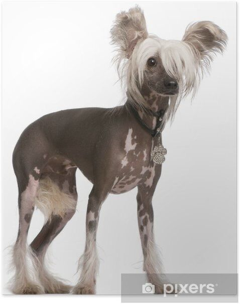 posters-chinese-crested-dog-10-manader-gammal-staende