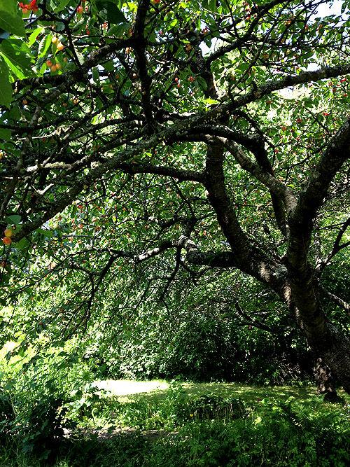 kärsbärsträd_körsbär_bigarråer