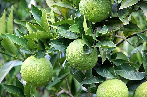 citrus_rhodos_grekland