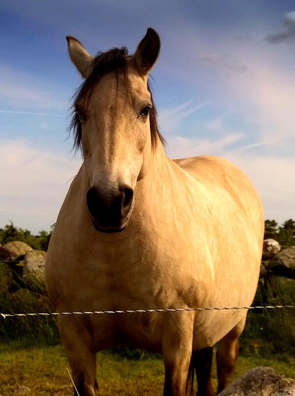 hästar_öland