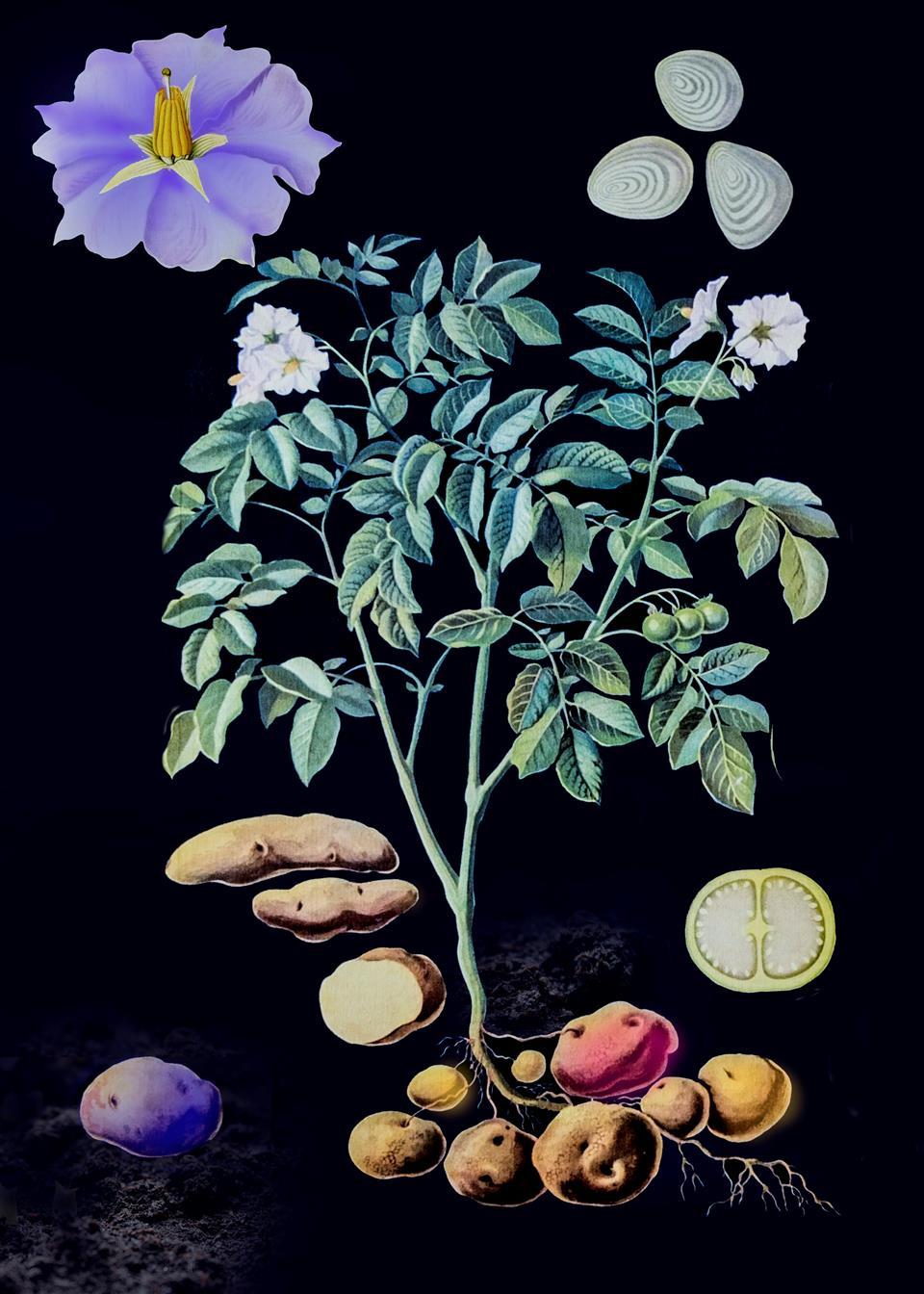 potatisrebeller
