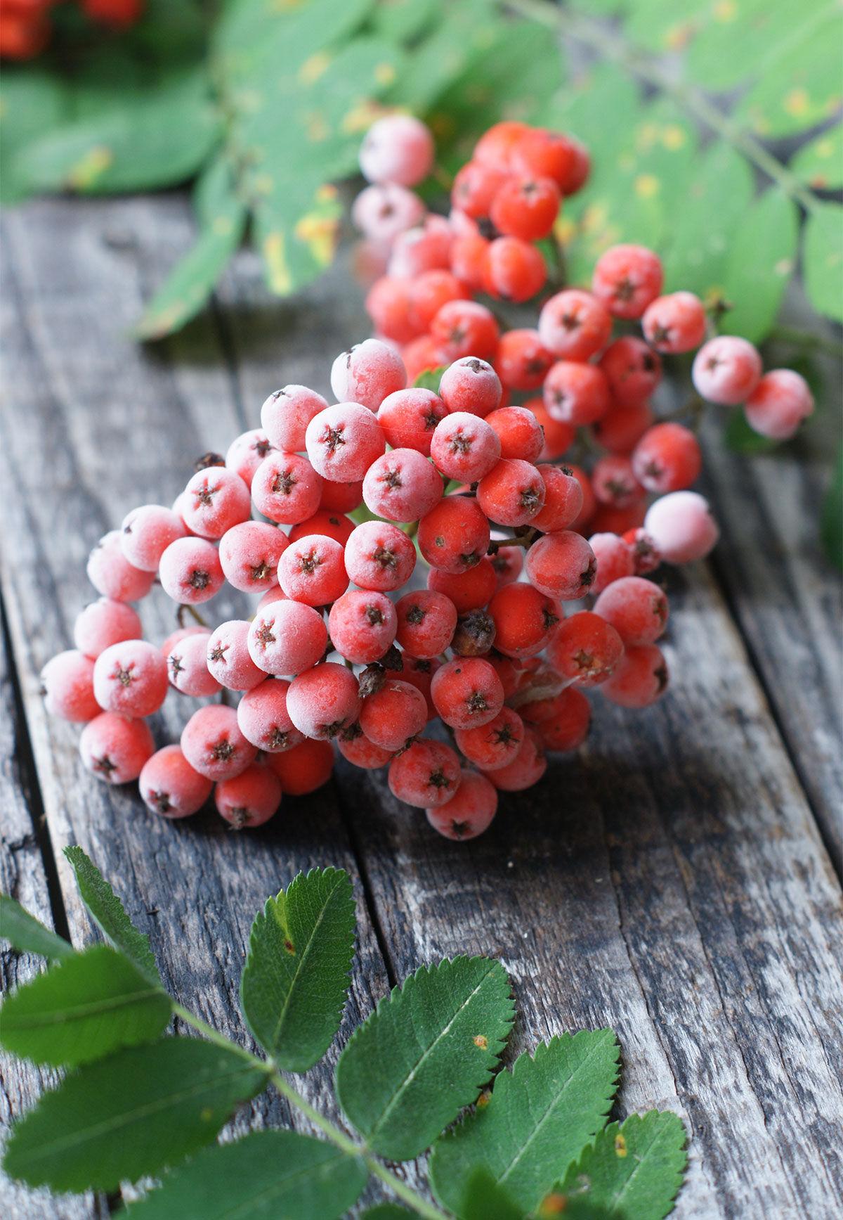 En kvist frostnupna rönnbär på ett träbord