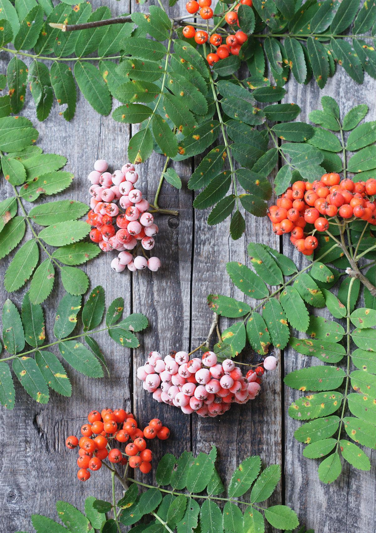 Rönnbär på ett träbord